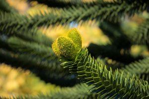 Araucaria, planta conífera