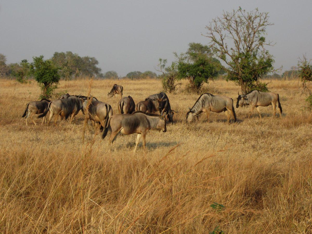 Sabana en Africa, Mikumi