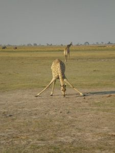 Jirafa en sabana africana