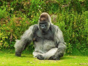 Gorila en el Bosque del Congo