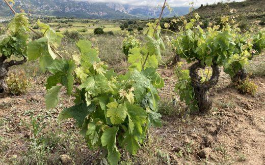 Viñedo en Rioja Alavesa