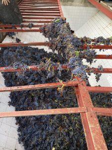 Pesaje de las uvas